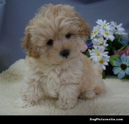 cockapoo Maltipoo puppy, Maltipoo puppies for sale, Puppies