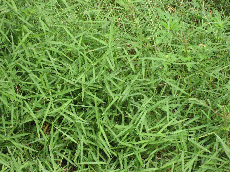 Removing invasive Japanese Stilt Grass Invasive plants