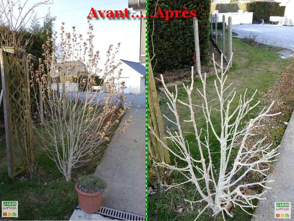 quand et comment tailler l'althéa | hibiscus, du jardin et le jardin
