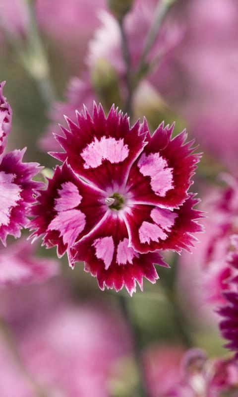 Dianthus Barbatus Beautiful Flowers Pink Flowers Wallpaper Dianthus Barbatus