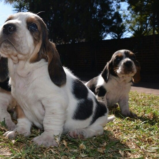 Basset Hound Puppies For Sale 4weeks Old Ready End Of August