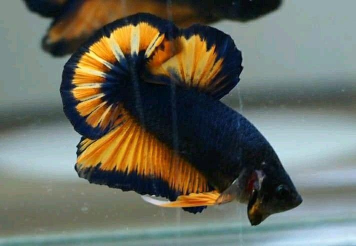 Ohmpk blue mustard fancy | Ikan cupang, Ikan