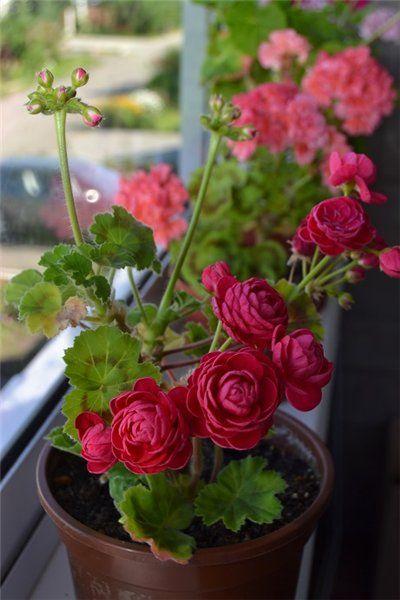 Пеларгонии - Страница 8   Красивые цветы, Цветы в горшках ...