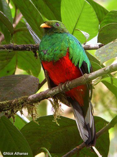 White-tipped Quetzal - Pharomachrus fulgidus