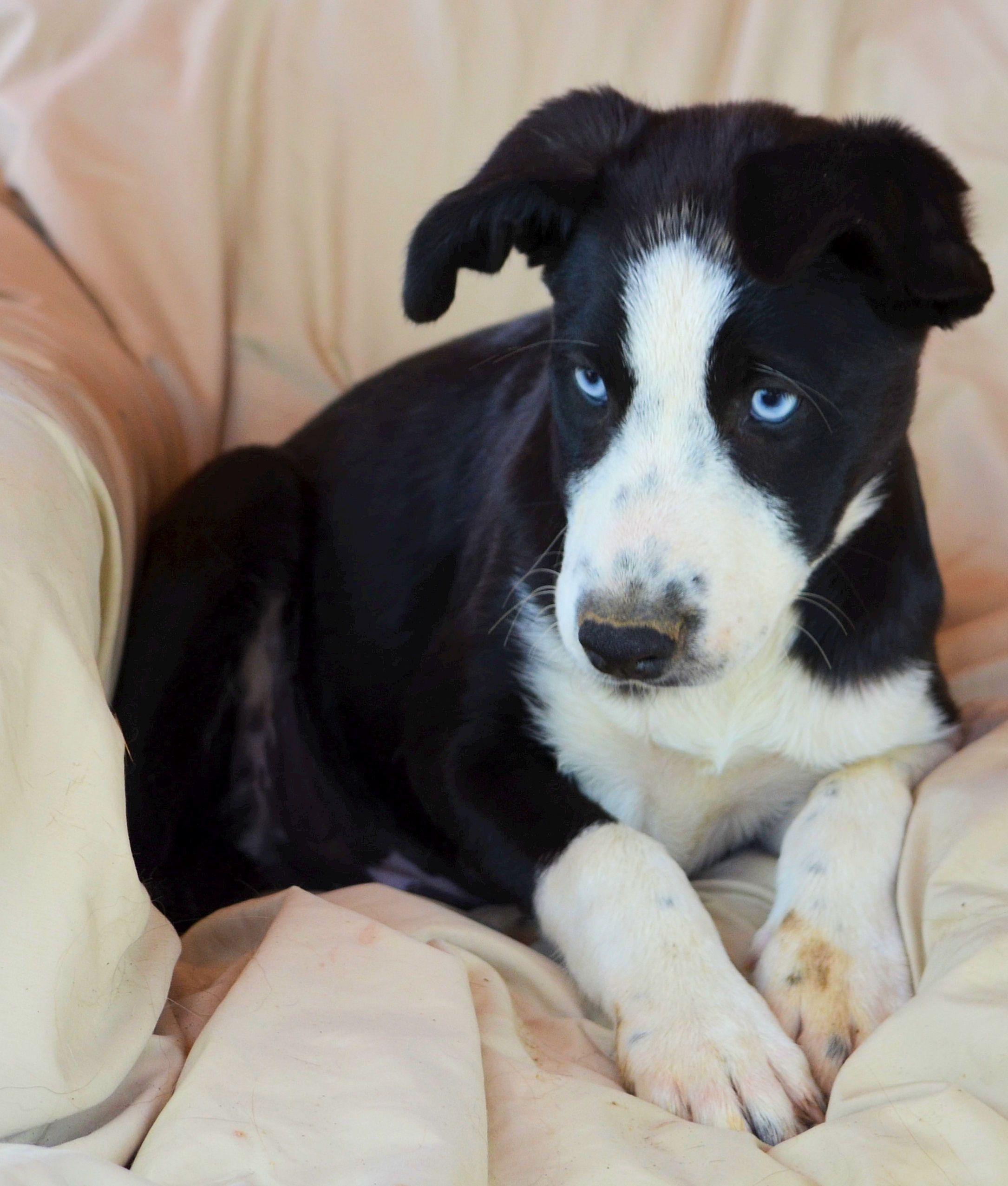 Border Collie dog for Adoption in Bon Carbo, CO. ADN