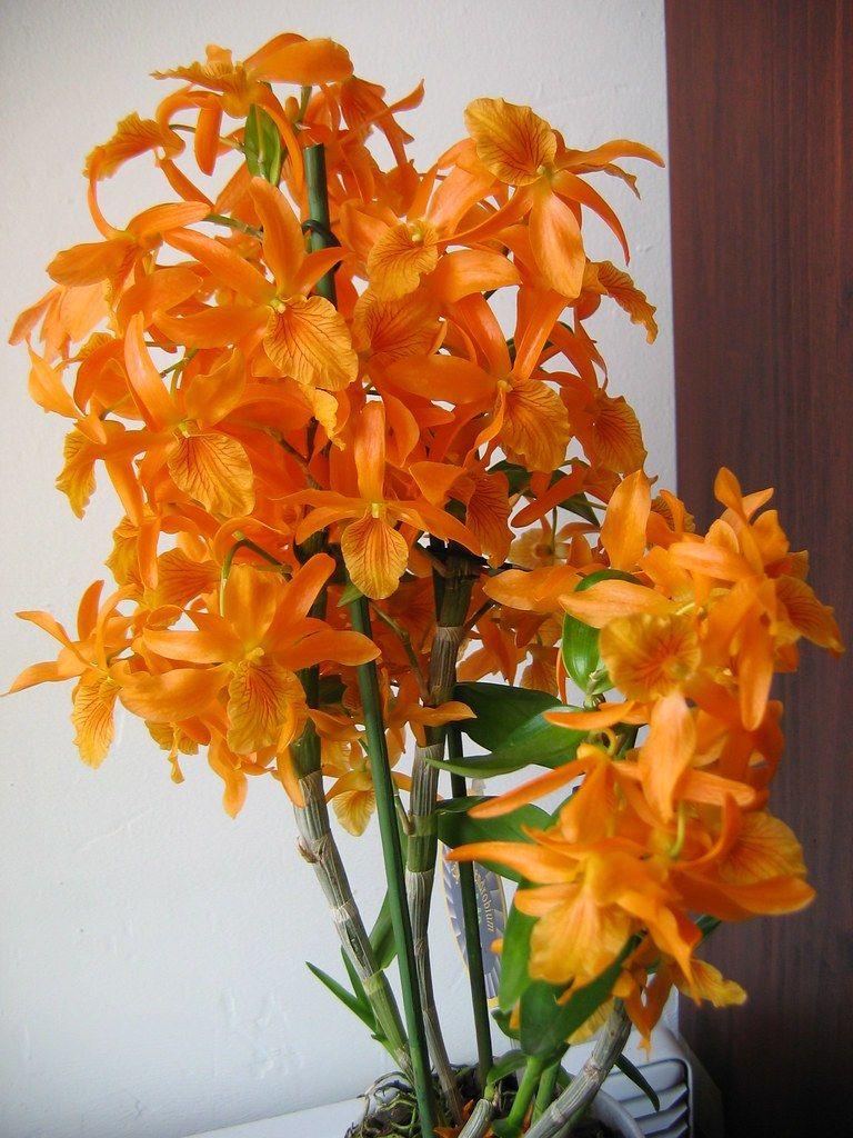 Dendrobium Stardust Firebird In 2020 Beautiful Orchids Orchid Flower Arrangements Artificial Orchids