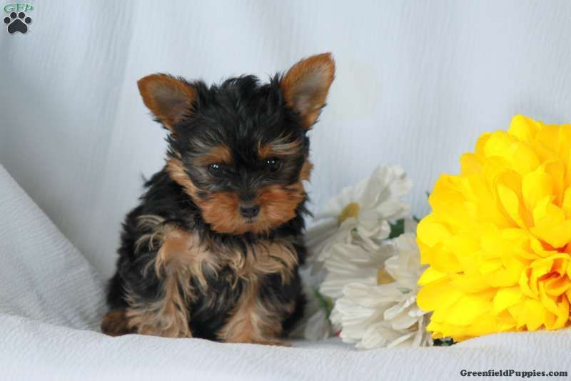 Archie Teacup Yorkshire Terrier Puppy For Sale In Pennsylvania