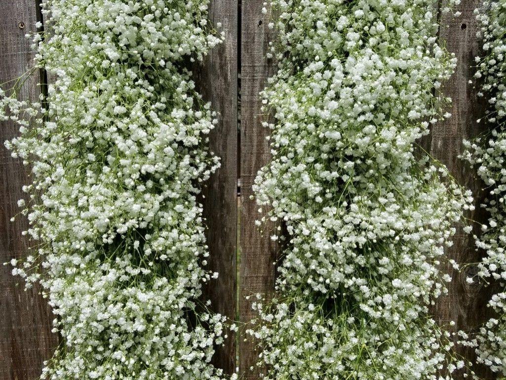 Beautiful Baby S Breath Garland Flower Wall Wedding Babys Breath Fresh Garlands