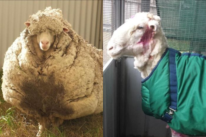 Wool World Record 40kg From Overgrown Sheep Sheep Sheep Shearing Animal Antics
