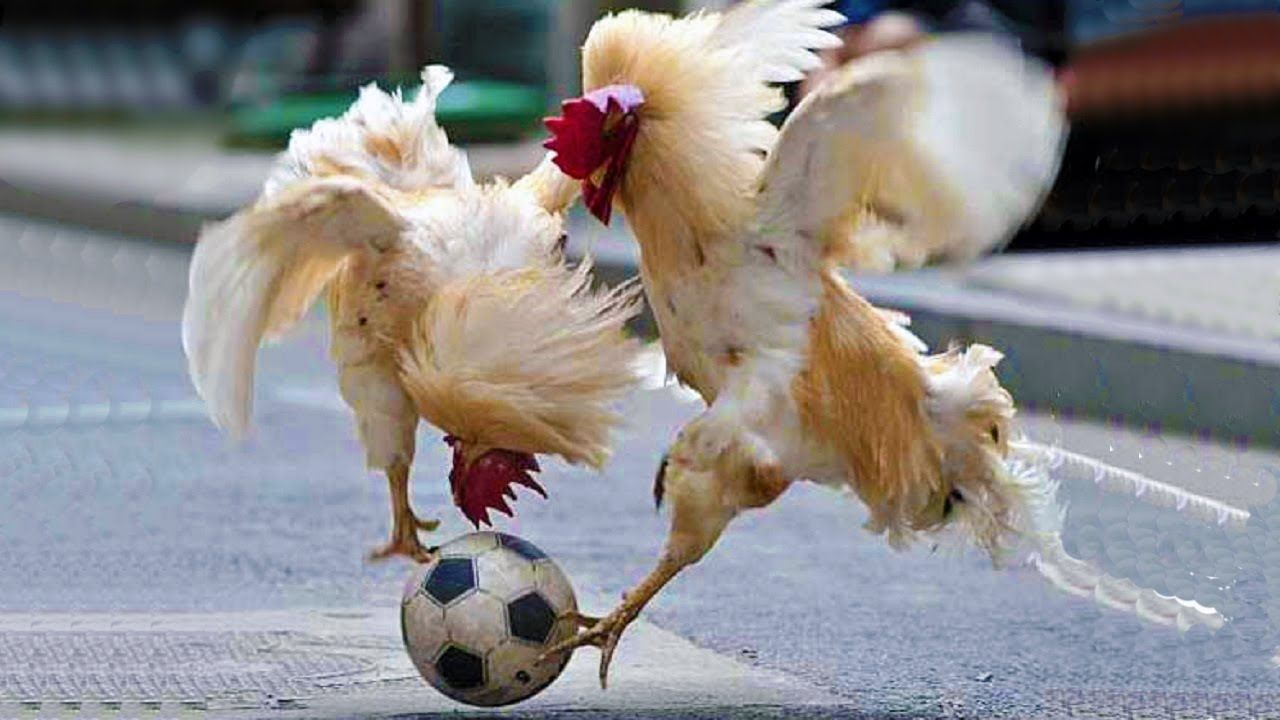 Funny Chickens Cute Chicken Videos – Chickens VS Dogs and ...