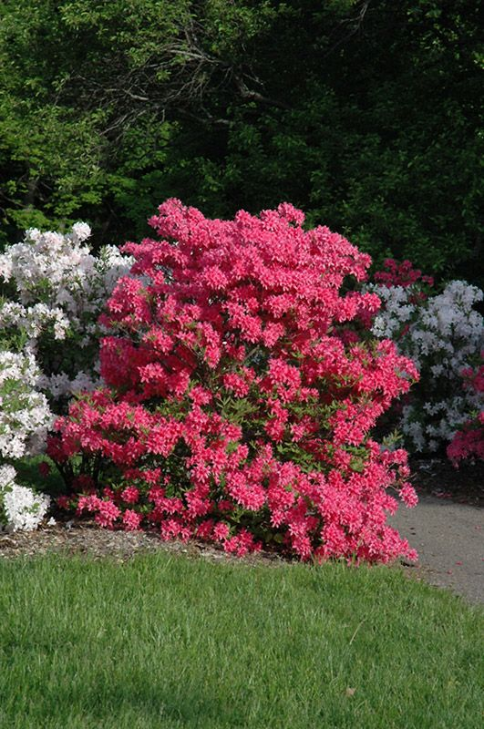 Rosy Lights Azalea Rhododendron Rosy Lights In 2020 Plants Azaleas Front Landscaping