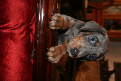 Doberman Pinscher Christmas Puppies Doberman Puppies For Sale