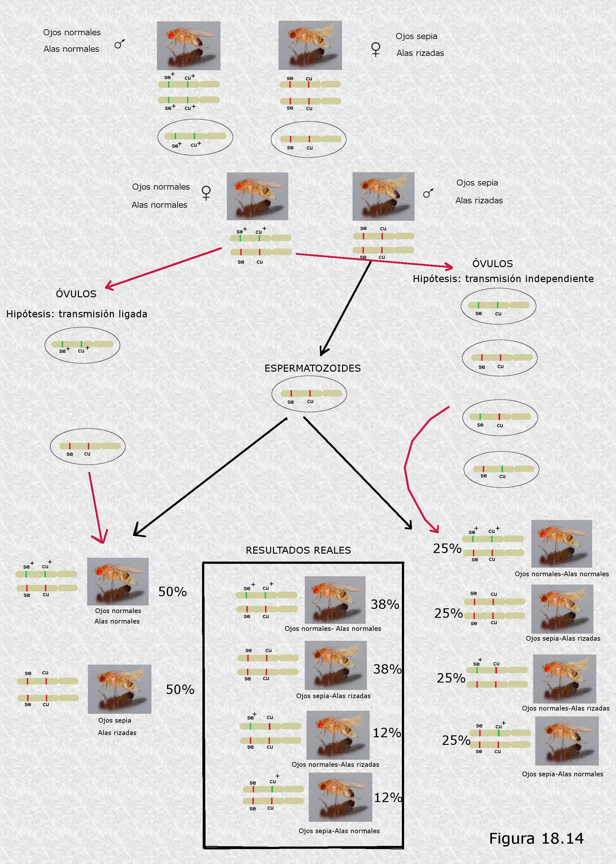 Atractivo Del Ciclo Celular Etiquetado Hoja Respuestas Componente ...