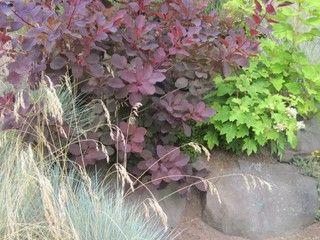 Purple smoke tree (Cotinus coggygria cultivars, zones 4 to 8)