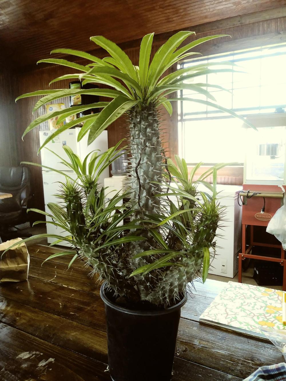 Cactus With Palm Tree Stock Photo 1684409 : Shutterstock   Name Cactus Palm Tree