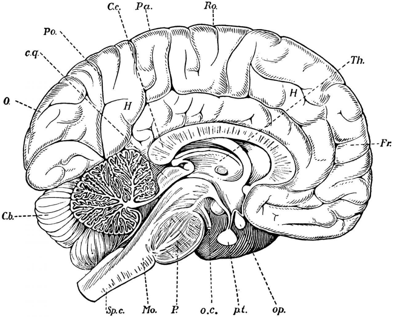 Diagram Of The Sagittal View Of The Human Brain Human Anatomy