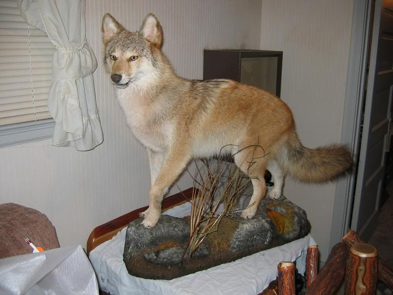Cool Coyote Mounts coyote mount pictures (With images