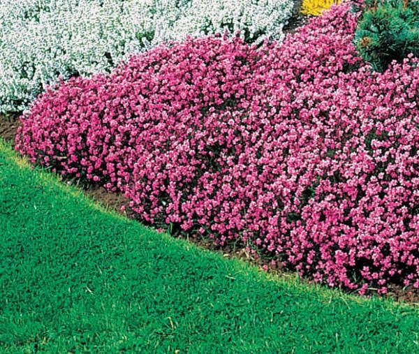 Bruyère d\'hiver rose: facile d\'entretien, elle se plait dans tout ...