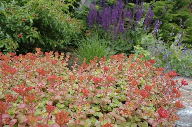 Drought Tolerant Plants For The Pacific Northwest Plus Other Hot Weather Garden Tips Drought Tolerant Landscape Drought Resistant Plants Plants