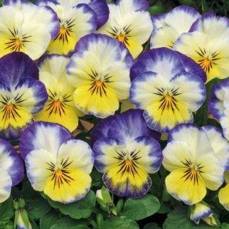 Lemon Blueberry Swirl Violas 3 45 Deer Resistant Plants Plants Winter Flowers