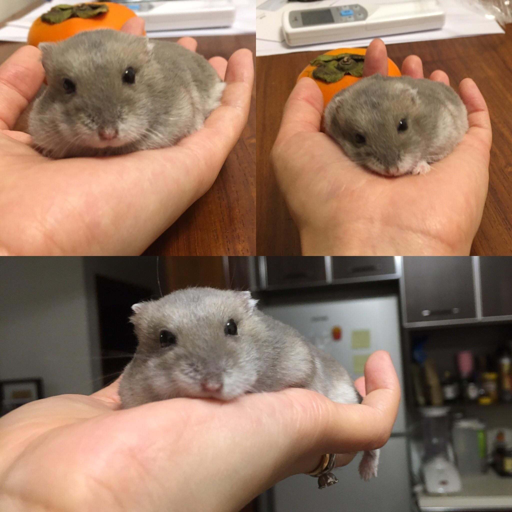 Always so flat in my hand #aww #Cutehamsters #hamster #hamstersofpinterest #boopthesnoot #cuddle #fluffy #animals #aww #socute #derp #cute #bestfriend #itssofluffy #rodents