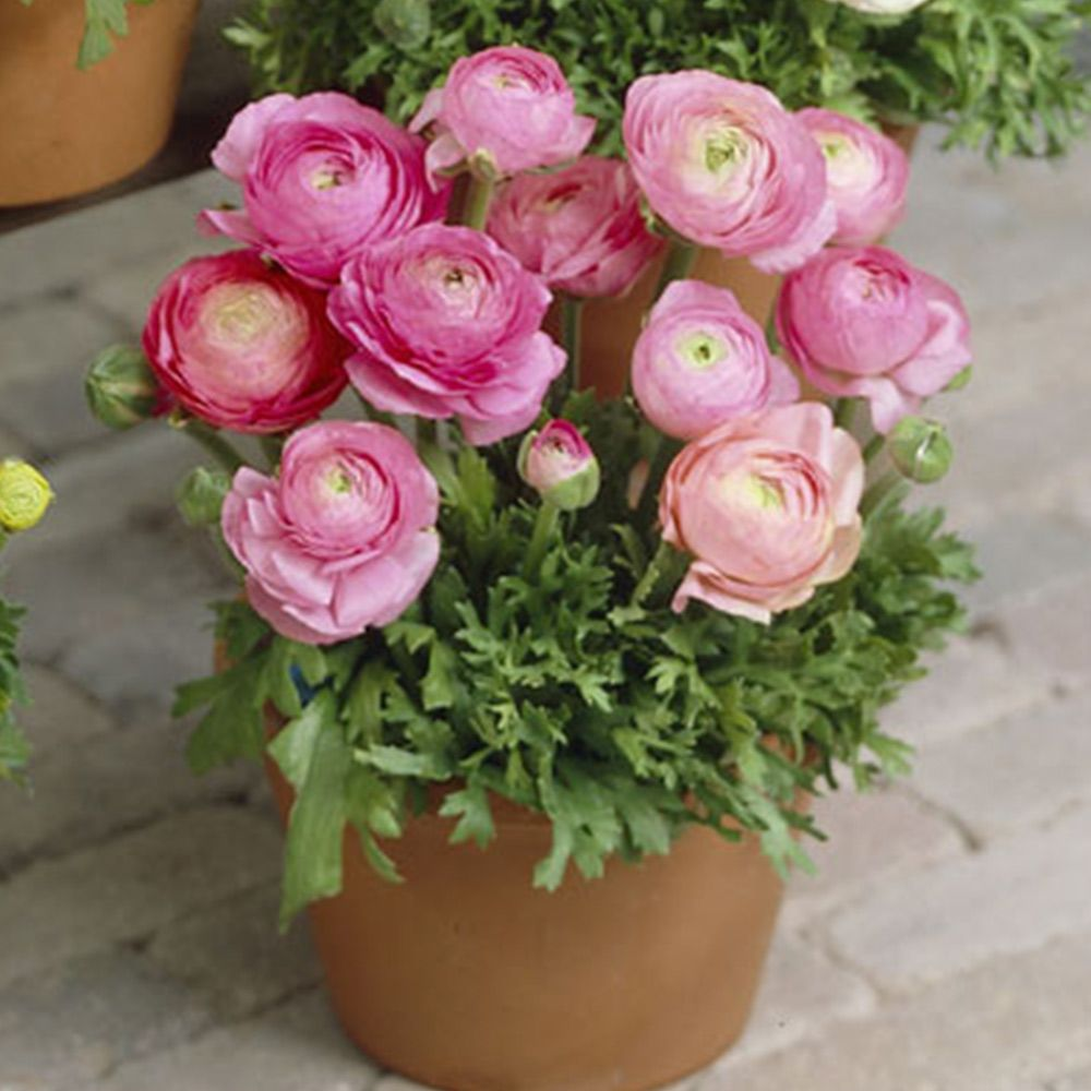 Ranunculus Bulbs Pink Flower Bulbs Eden Brothers Bulb Flowers Spring Plants Ranunculus Flowers