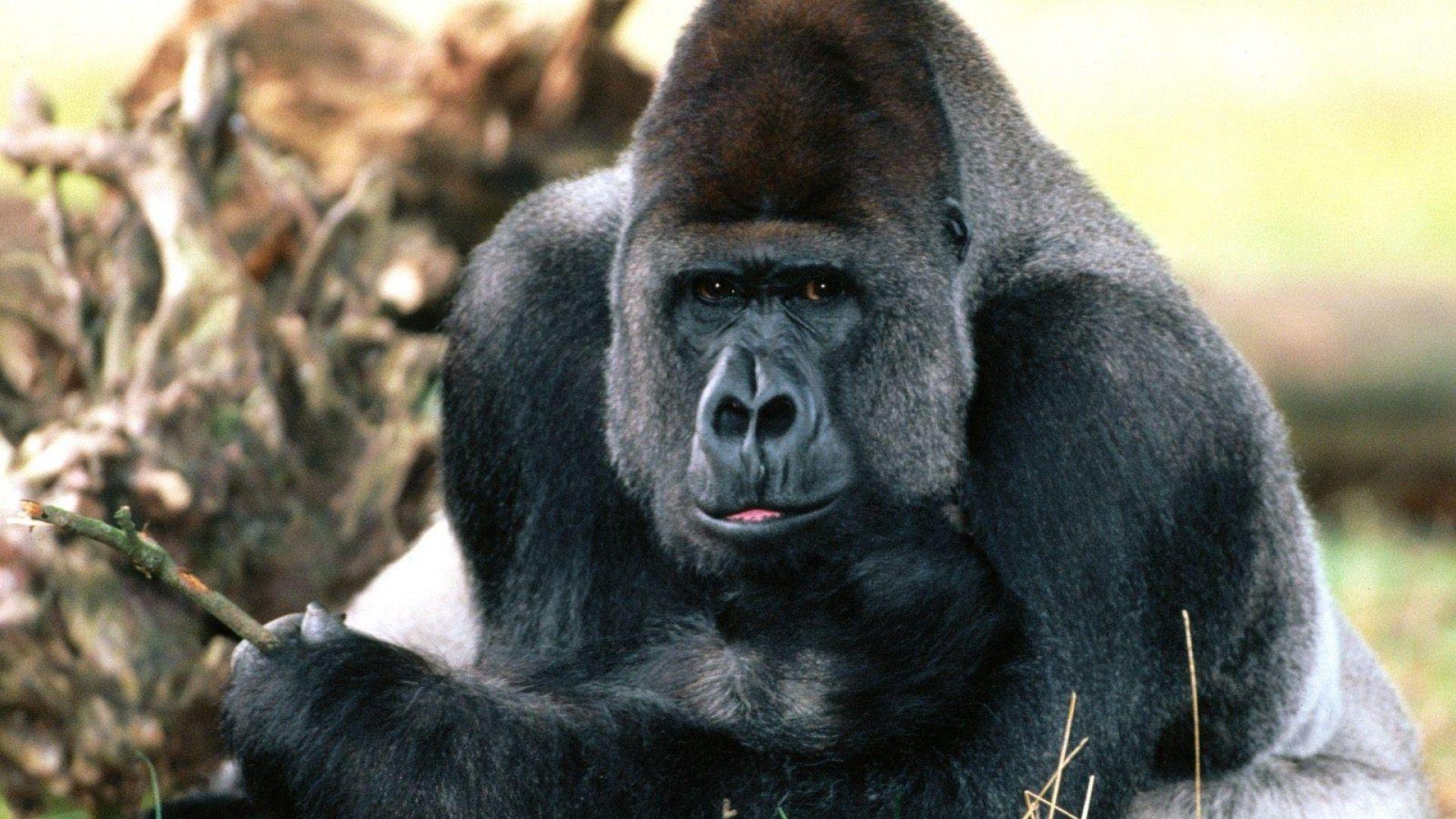 Gorilla Hd Wallpapers Gorilla Pet Monkey Silverback Gorilla Strength