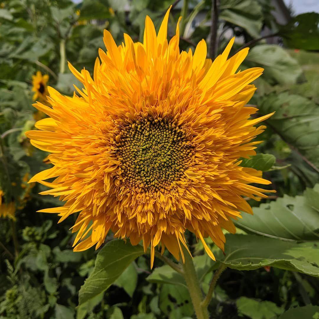 Came Across This Odd Little Sunflower Sunflower Flowergarden Flowers Flower Garden Flowers Plants