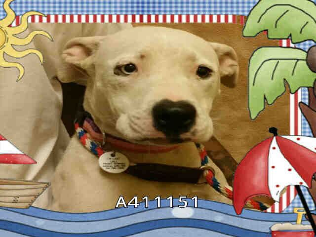 URGENT~ HAILEY - ID#A411151 Shelter Staff named me Hailey and I am an unaltered female, white and tan Pit Bull Terrier mix. The shelter staff think I am about 1 year old I weigh approximately 41 pounds. I have been at the shelter since Aug 07, 2014. Prince Georges County Animal Management Division at (301) 780-7200