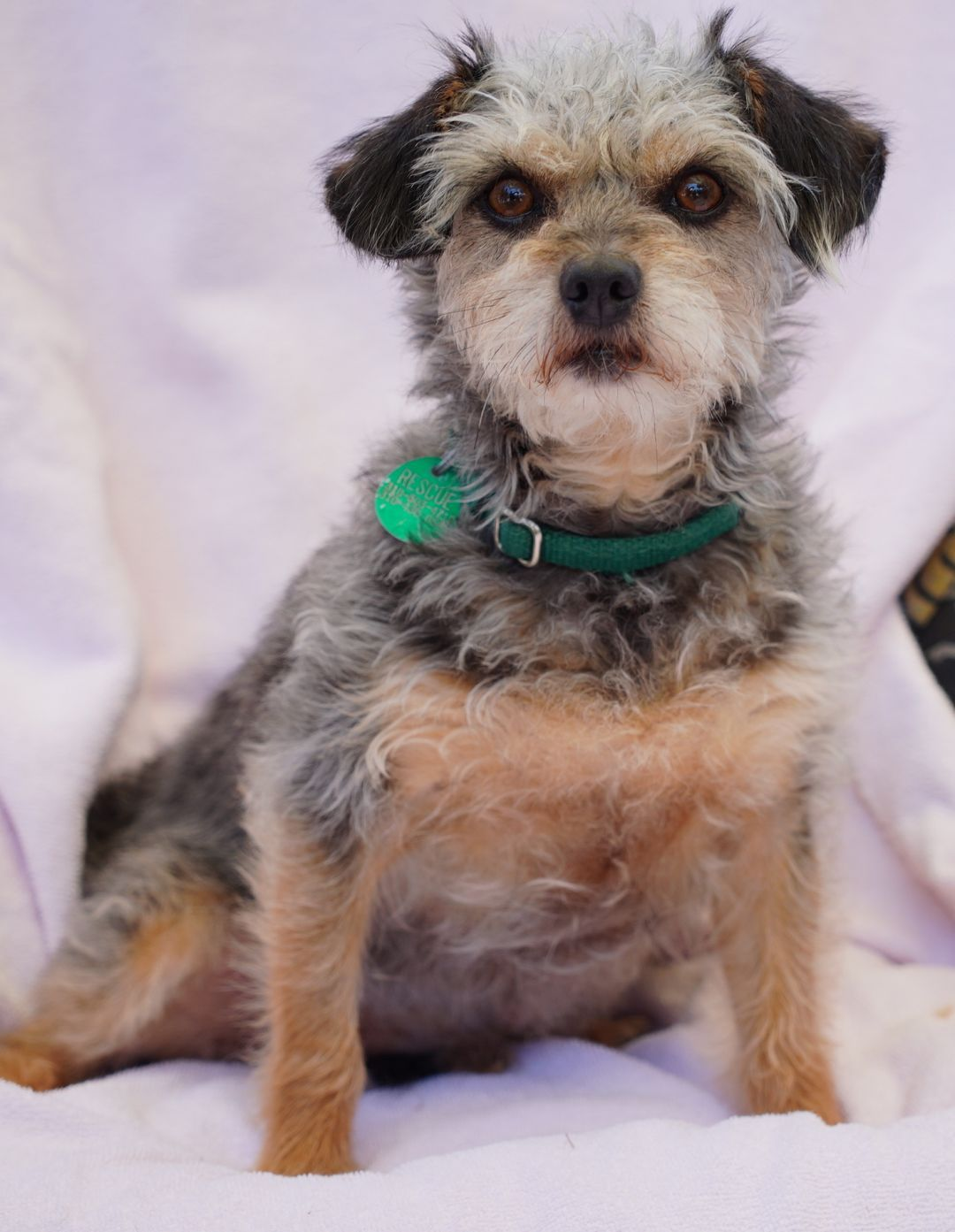Adopt CLANCY on Poodle mix dogs, Paws rescue, Terrier