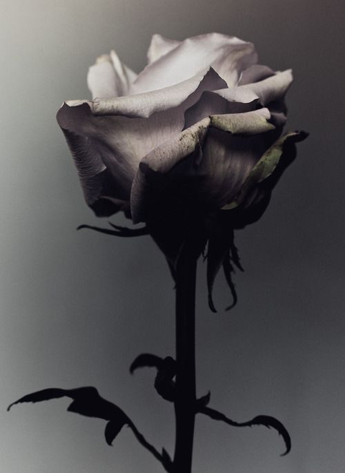 Decaying rose was shot by Billy Kidd