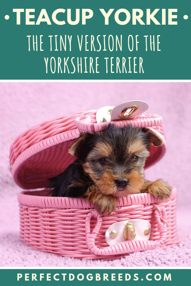 The Teacup Yorkie Is A Tiny Version Of A Yorkshire Terrier Don T Be Fooled By Their Stature These Little Mischief Mak Yorkie Terrier Yorkie Teacup Dog Breeds