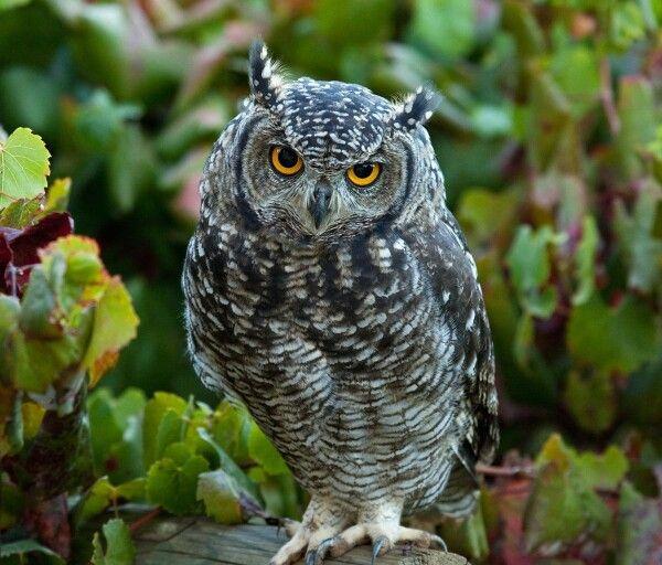 El Buho, preciosa ave rapaz nocturna Buhos animales