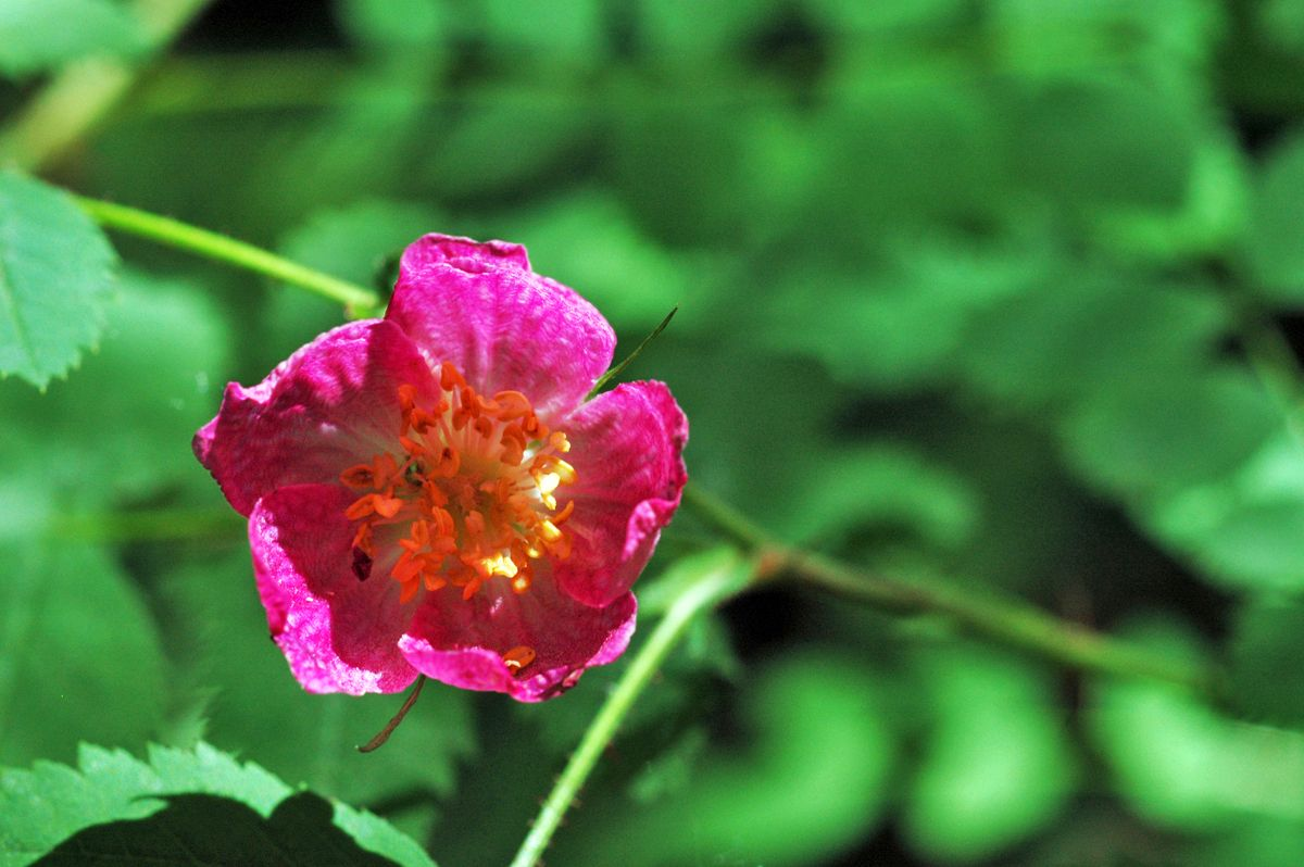 Baldhip rose (Rosa gymnocarpa), one of the gorgeous native species that grows in Pacific Spirit Regional Park and provides food to bees, butterflies and other critters.