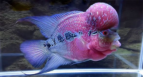 AMAZONAS Feature Video: A Flowerhorn Year | Freshwater aquarium fish,  Beautiful fish, Fish tank