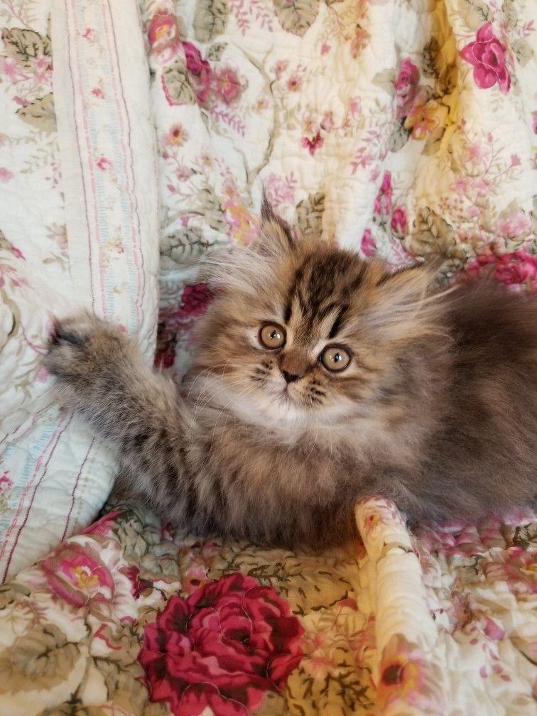 Tabby kitten Tabby kitten, Cute cats, Kittens cutest