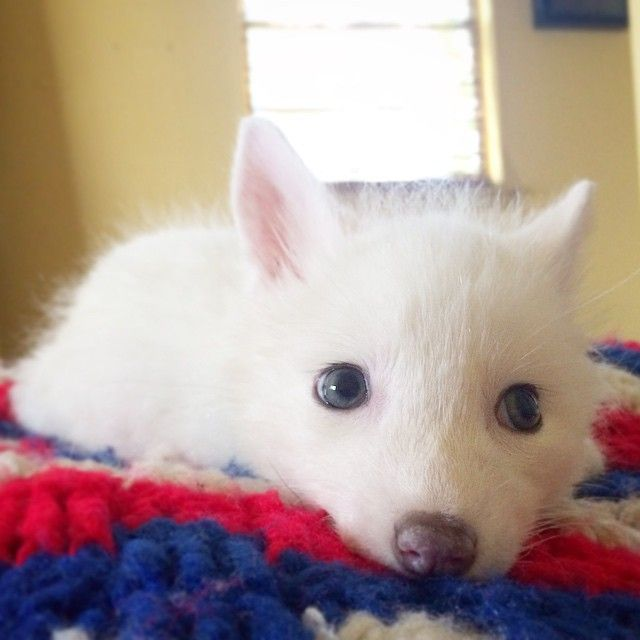 The Internets Cutest SnowWhite Fox Is Growing Up White Fox - Domesticated baby fox is the cutest and sleepiest pet ever