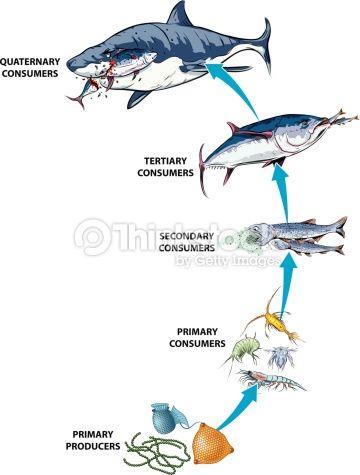 Vector illustration of basic marine food chain. | Ocean ...