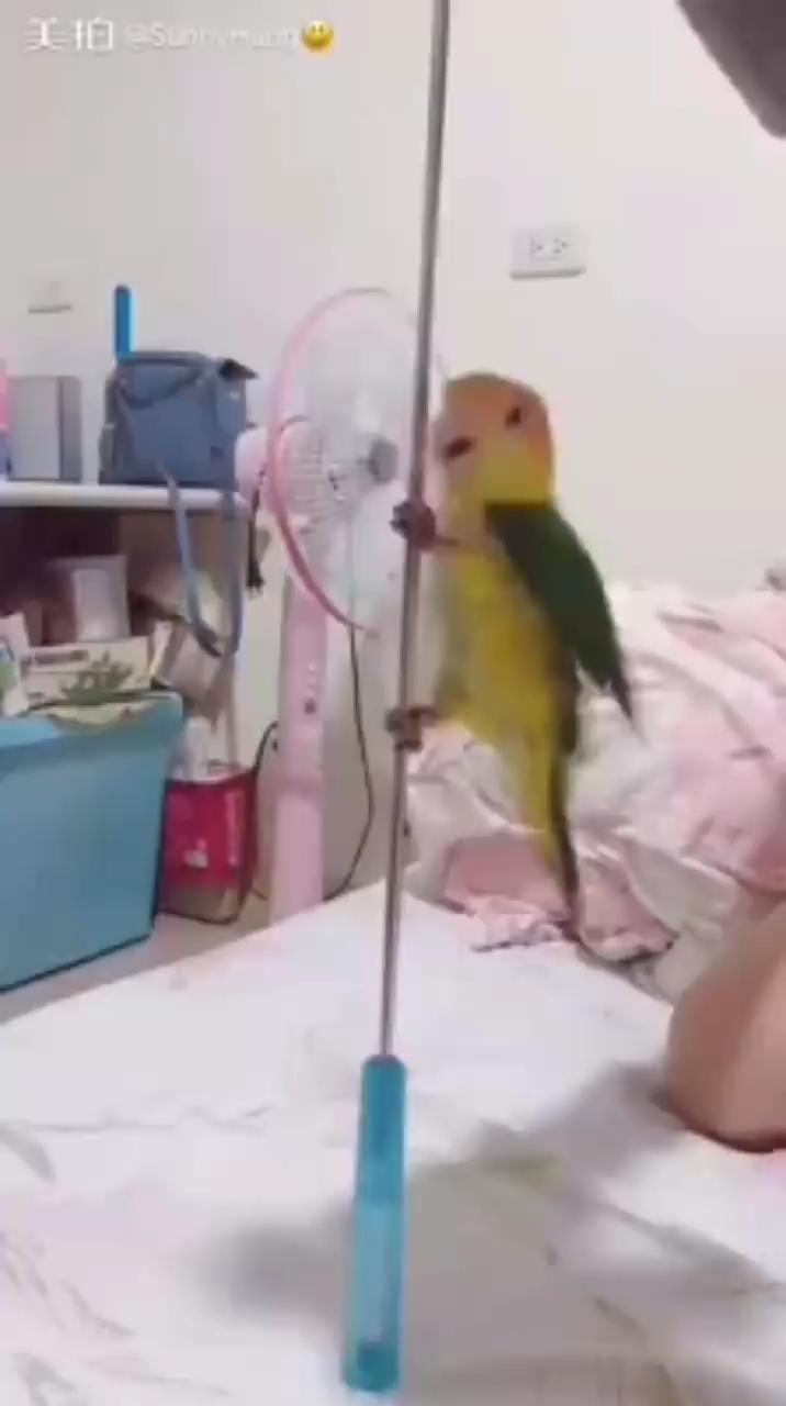 Parrots Dancing #funnyvideos