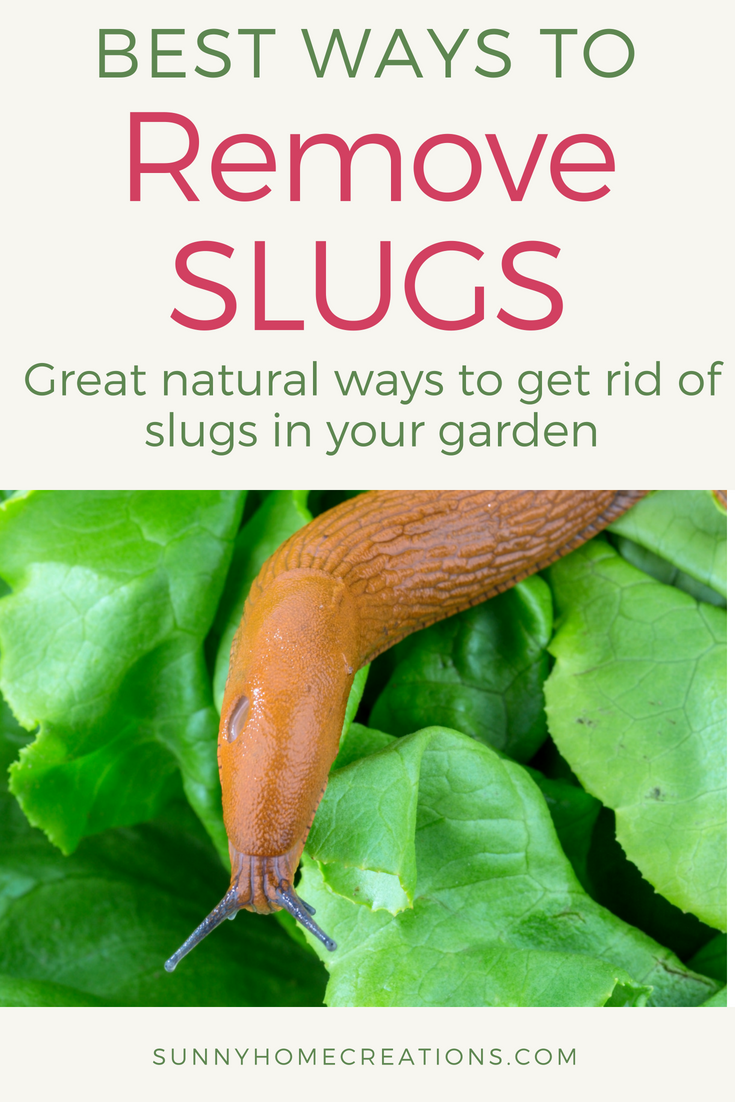 Best ways to remove slugs from your garden. Some great ideas on how to get rid of slugs from eating your plants and seedlings.