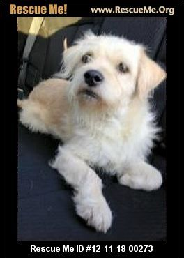 Texas Norfolk Terrier Rescue Adoptions Rescueme Org Terrier Rescue Norfolk Terrier Kitten Adoption