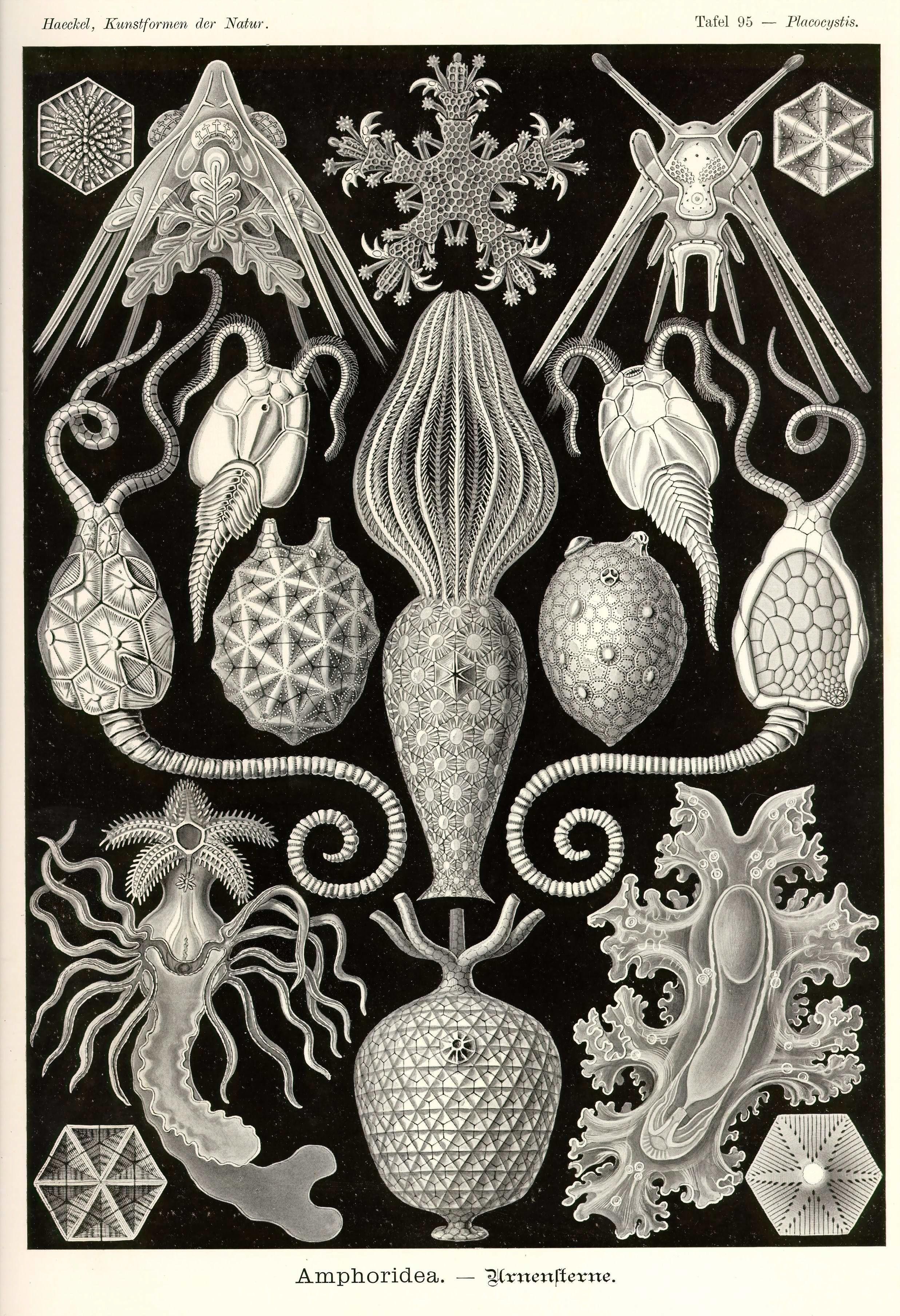 Kunstformen der Natur Tafel 95 - Placocystis
