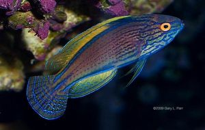 Cirrhilabrus Lineatus Lineatus Fairy Wrasse 2020 Balik Avustralya Mercan