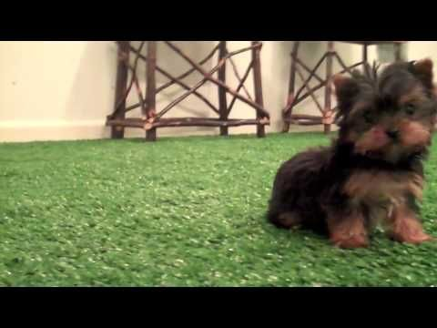 Smallest Yorkie Puppy In The United States Www Affordablepup Com 17oz Yorkie Puppy For Sale Yorkie Puppy Yorkie