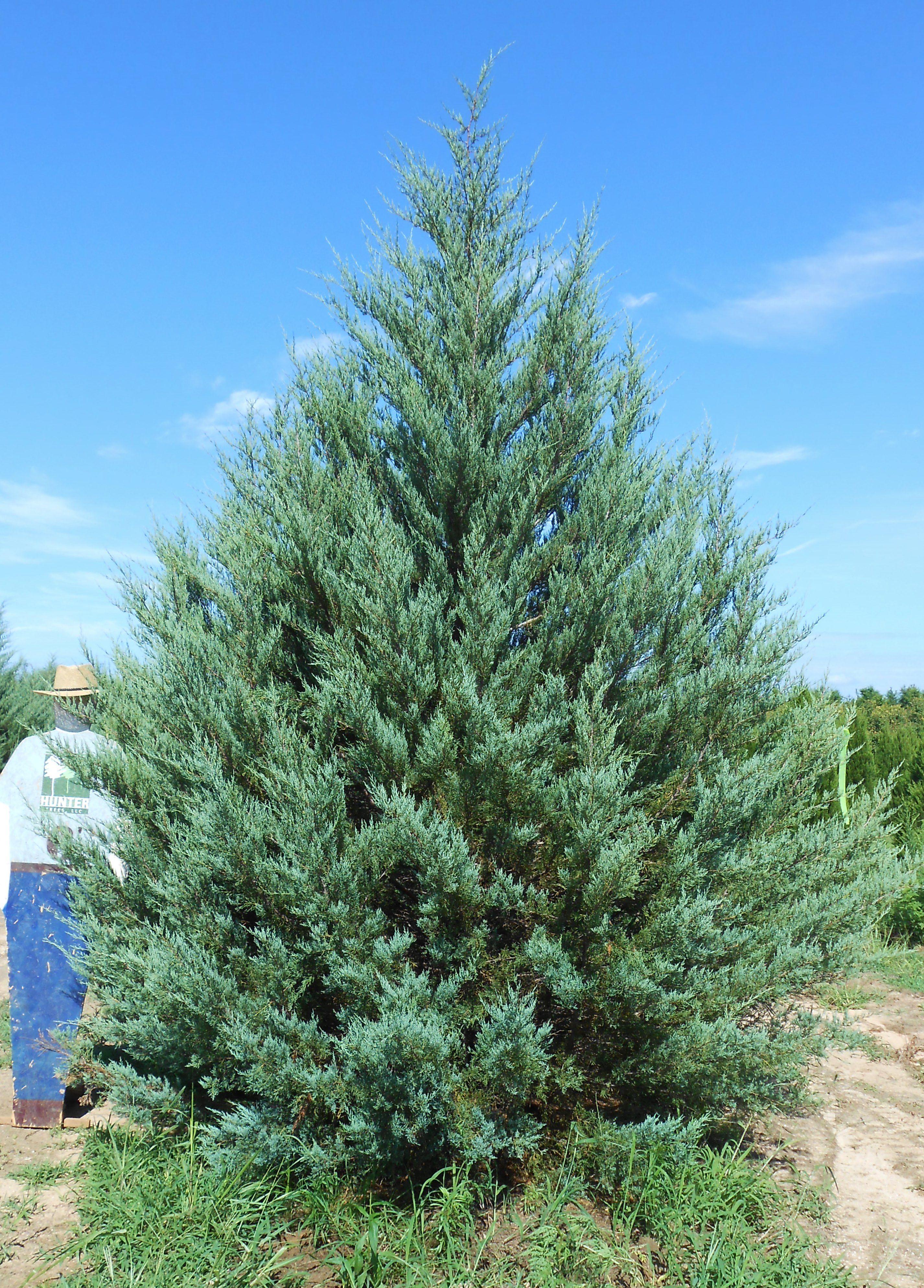 Burkii eastern red cedar large fast growing blue gray