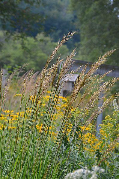 Prairie Moon Nursery Seeds Sorghastrum Nutans Indian Gr