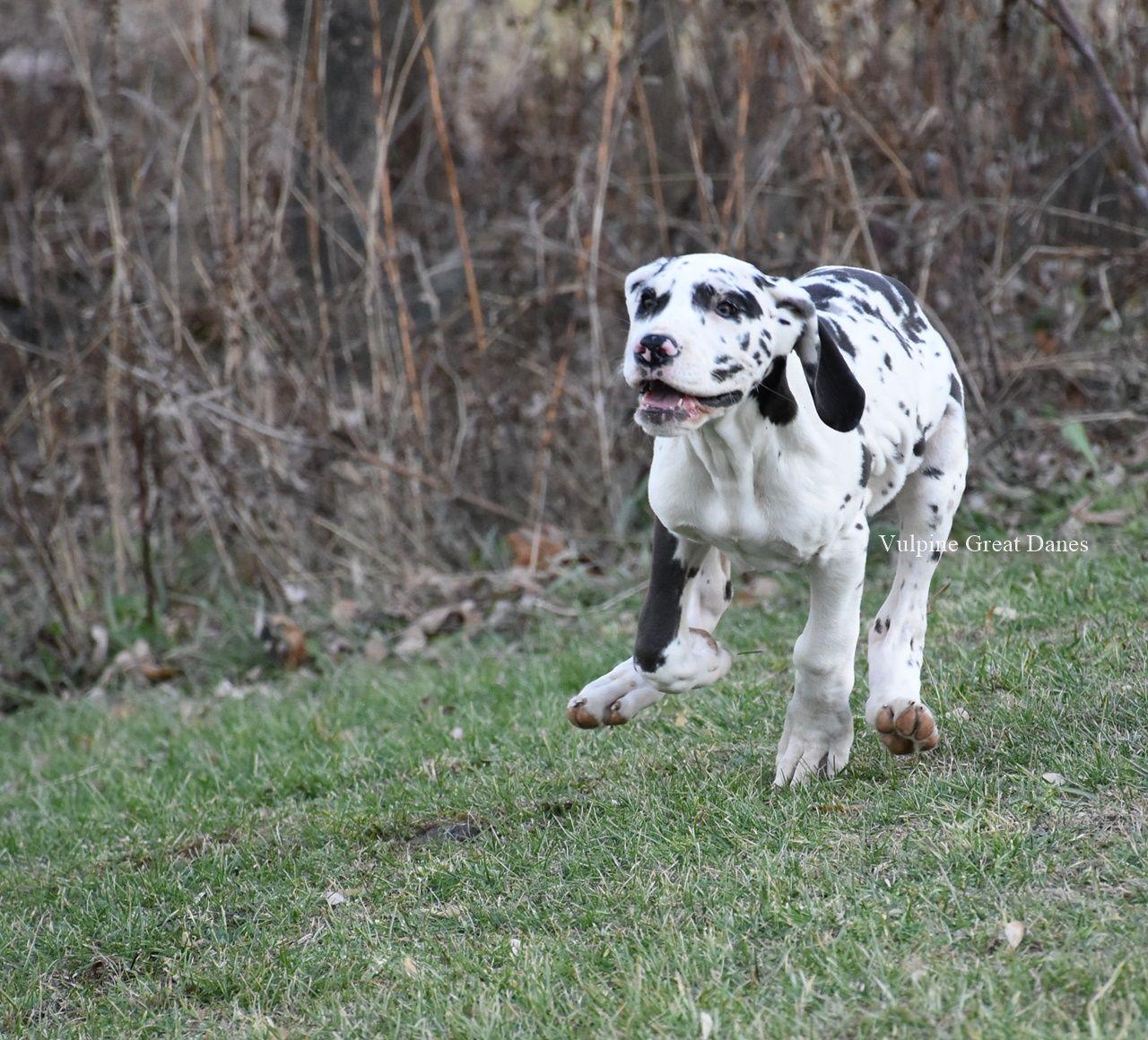 Harlequin Girl Gizi Harlequin Great Dane Puppy Great Dane Puppy
