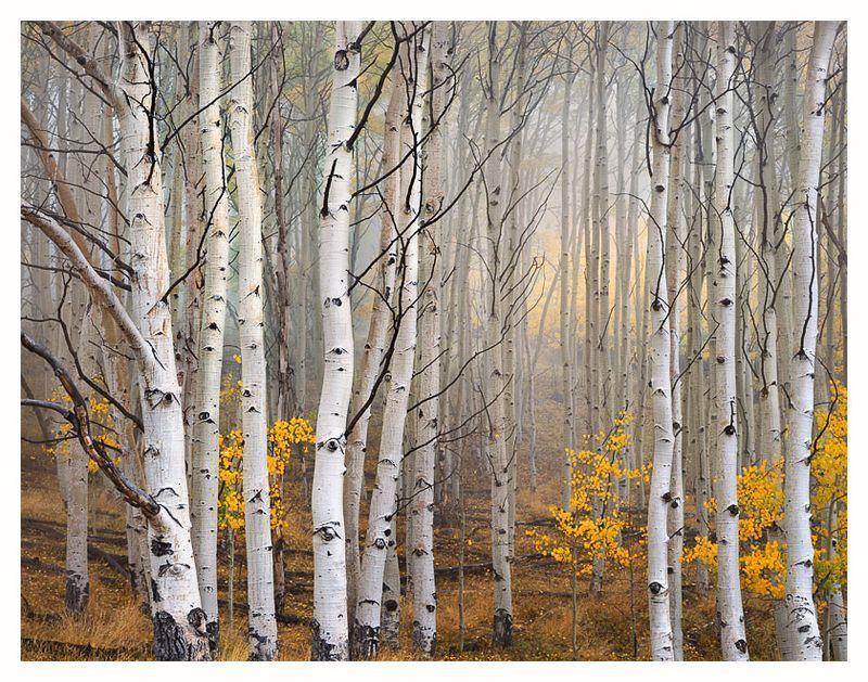 Ansel Adams Birch Trees