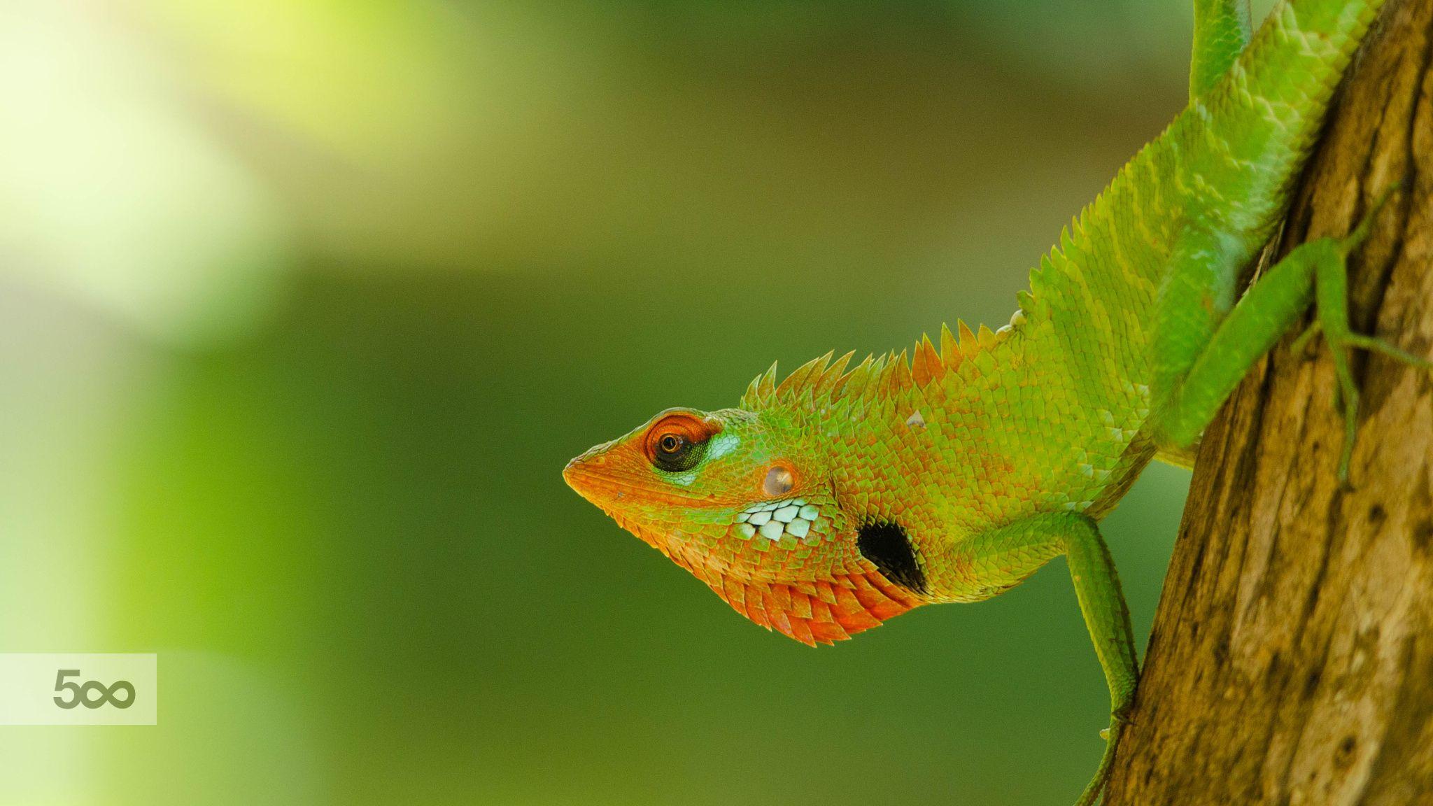 """කටුස්සා"""" oriental garden lizard, eastern garden"""