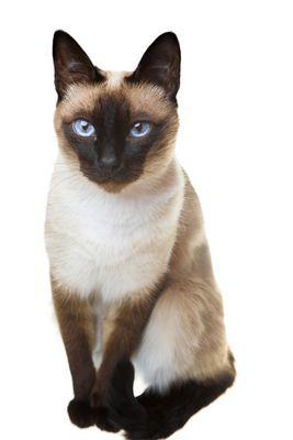 Siamese Cat My Next Cat So Beautiful Siamese Cats Siamese